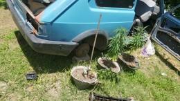 allanamiento, plantas de marihuana